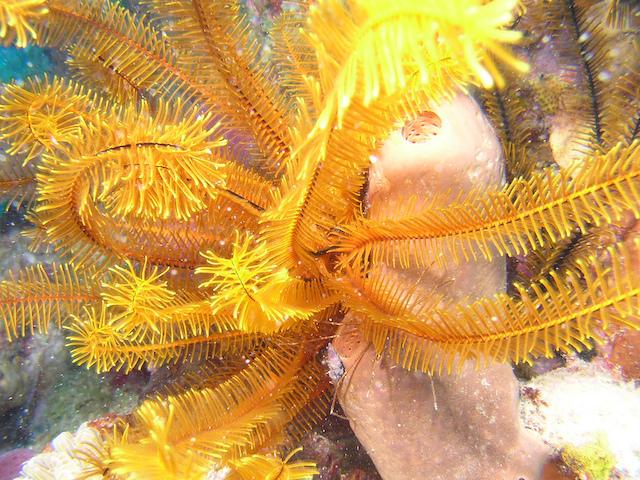 Coral-Martinique