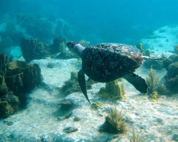 turtle-underwater-Martinique